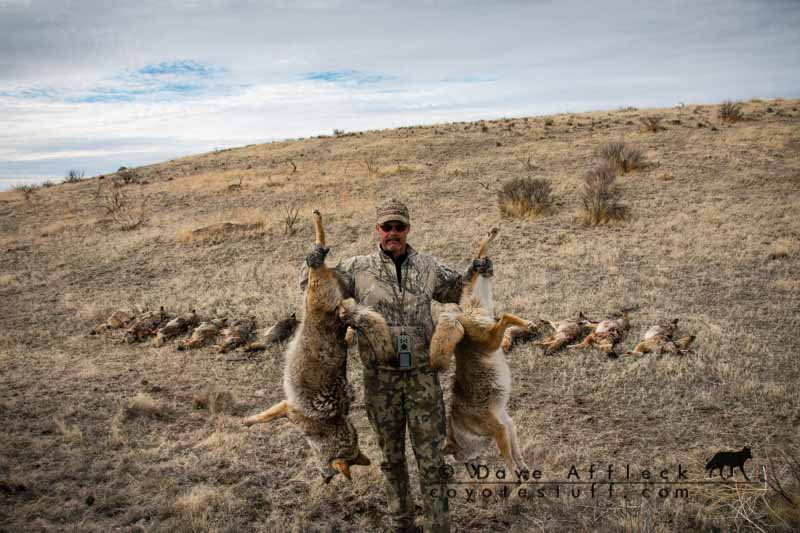 DAA with coyotes taken by paying attention to wind direction