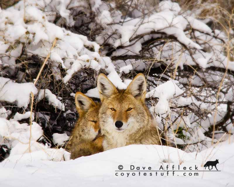 What to do when coyotes get harder to call
