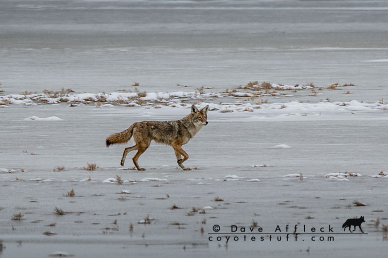 Coyote on mud flat