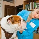 vet cares for English bulldog