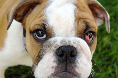 bulldog with cherry eye