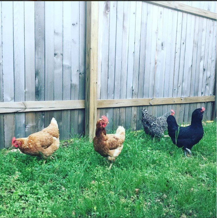 The quatro happy chickens. From left to right it's, Laura, Little Foot, Elena and May.