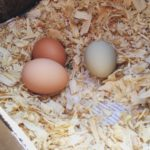 Dust Bathing for Chickens