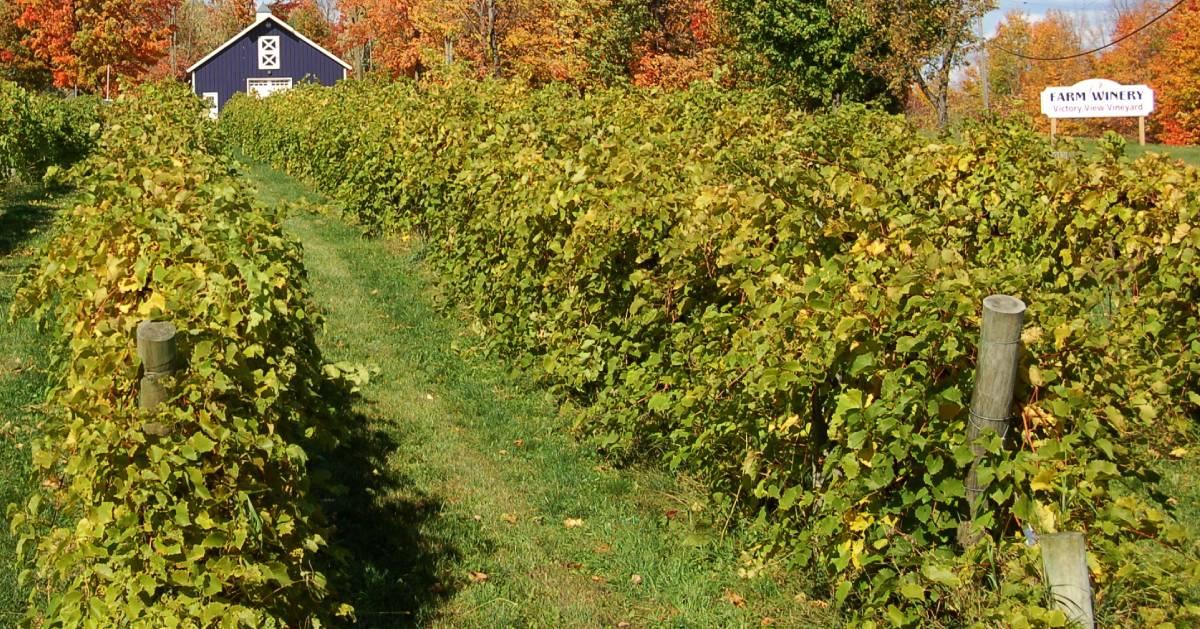 vineyard field in the fall