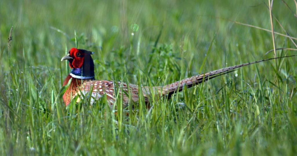 ring necked pheasant in grass