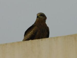 Birds of Prey - Black Kite