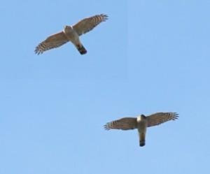sparrowhawk_x2_2903092103