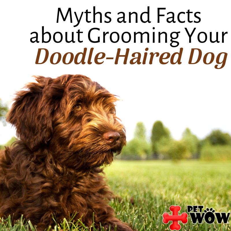 Myths and Facts about Grooming Your Doodle-Haired Dog