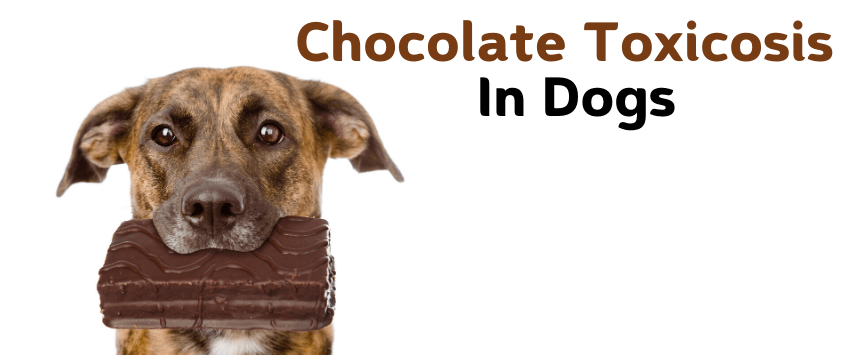 Chocolate Toxicosis in Dogs