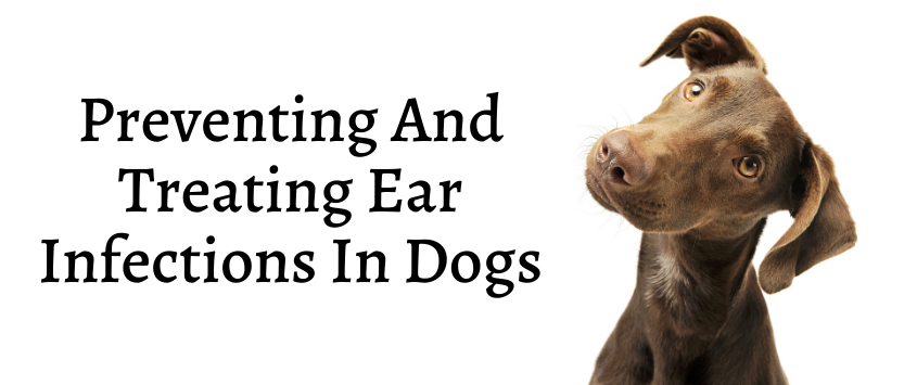 Preventing and Treating Ear Infections in Dogs