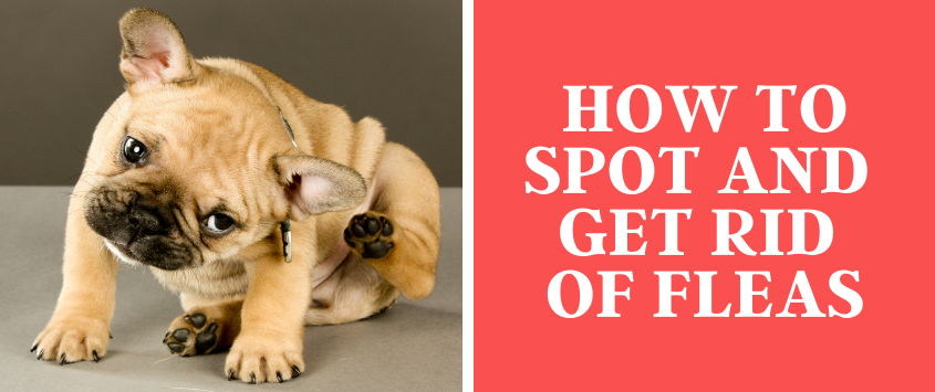 How To Spot and Get Rid of Fleas