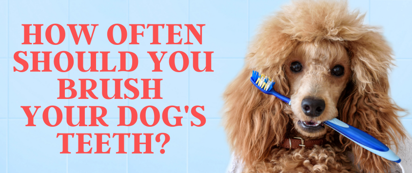 How Often Should You Brush Your Dog's Teeth?