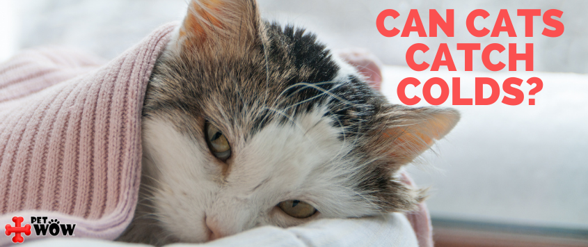 Can Cats Catch Colds?