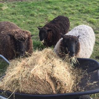 Sheep feeding at our animal petting farm