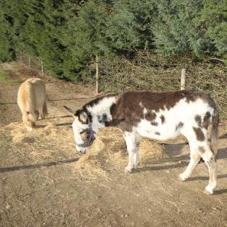 Shetland ponies at our animal petting farm