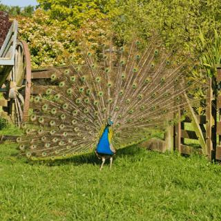 Peacock at Glenlothian animal farm