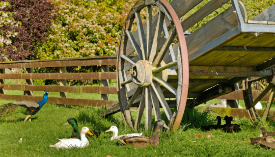 Variety of ducks and birds at our animal farm