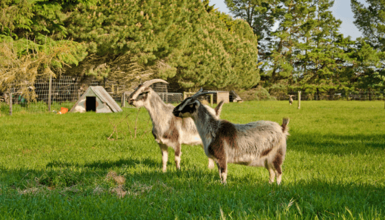 Goats at our animal farm in West Melton
