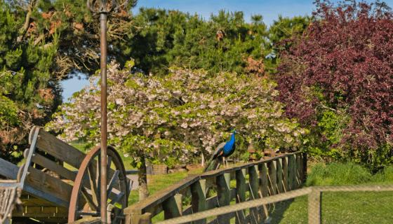 Peacock on fence at Glenlothian animal farm