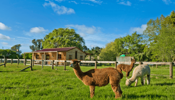 Alpacas at Glenlothian Animal Farm