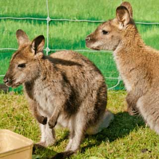 Bennetts wallabies at Glenlothian animal farm
