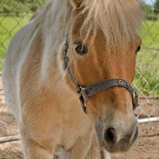 Shetland pony at Glenlothian animal farm
