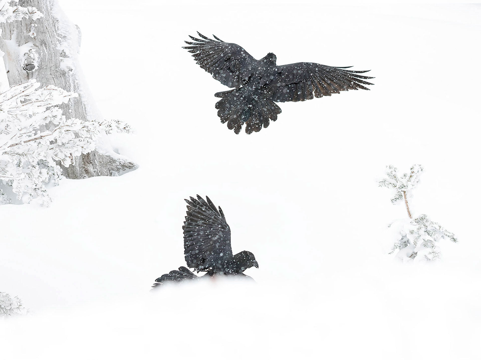 photogreaphy of ravens in flight black bird corvid photos - Day Dreaming