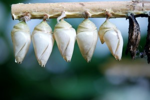 cocoon-butterfly-209085_640