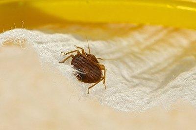 Annoying Bedbugs