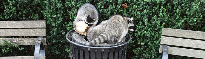 Skunk and Raccoon Removal