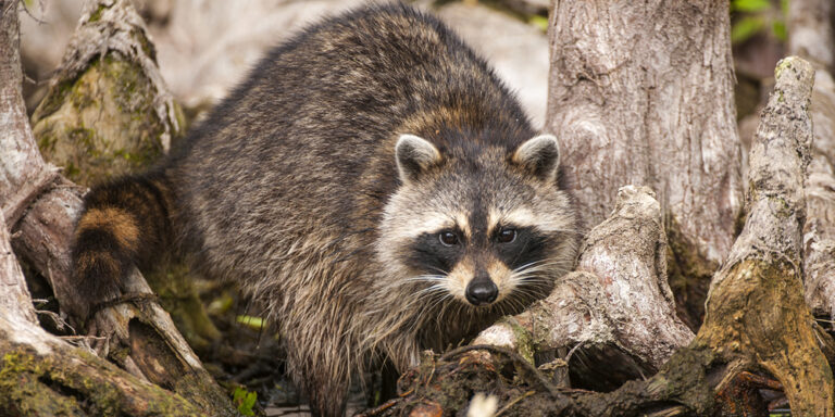Racoon Wildlife at Silver Spring