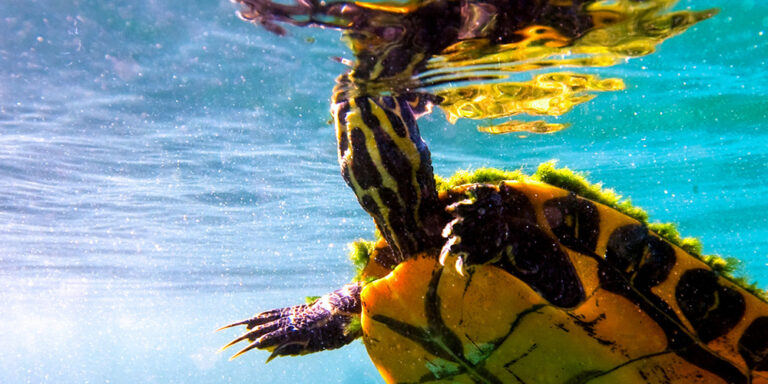 Water Turtle Wildlife at Silver Spring