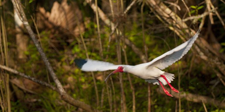 White-ibis Wildlife at Silver Spring