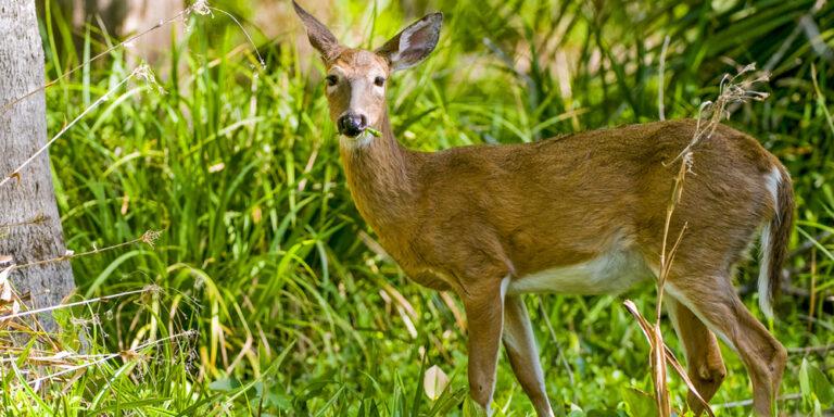 Whitetail Wildlife at Silver Spring