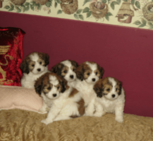 cavachons tri-color
