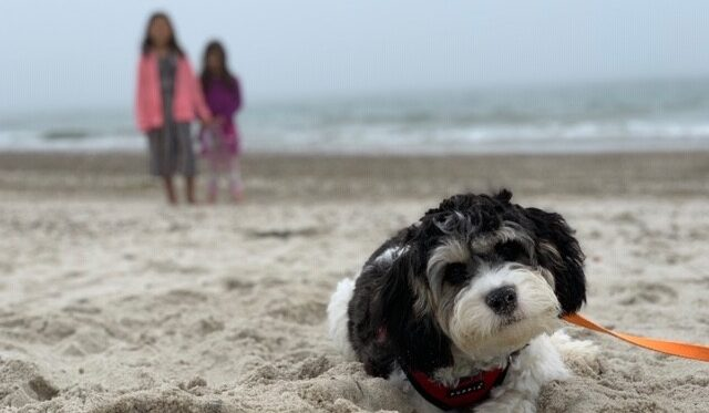 cavachon monarchy beach pet friendly travel