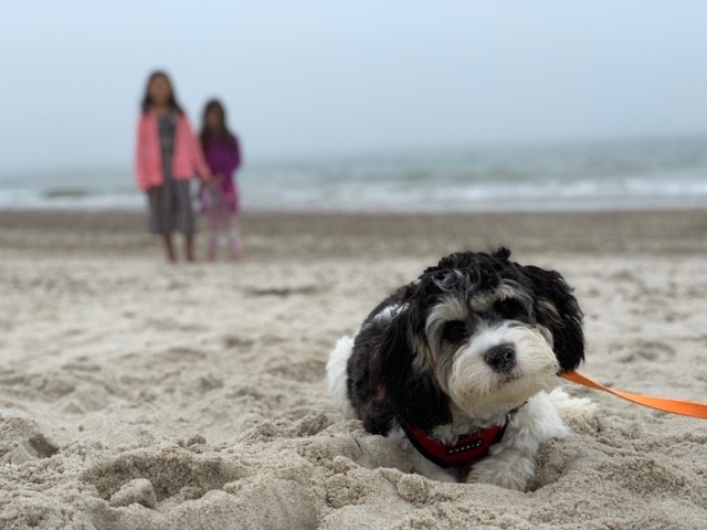 cavachon monarchy beach pet friendly travel