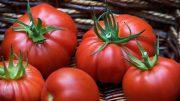 Tomatotes