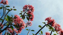 Sky Rose Flowers