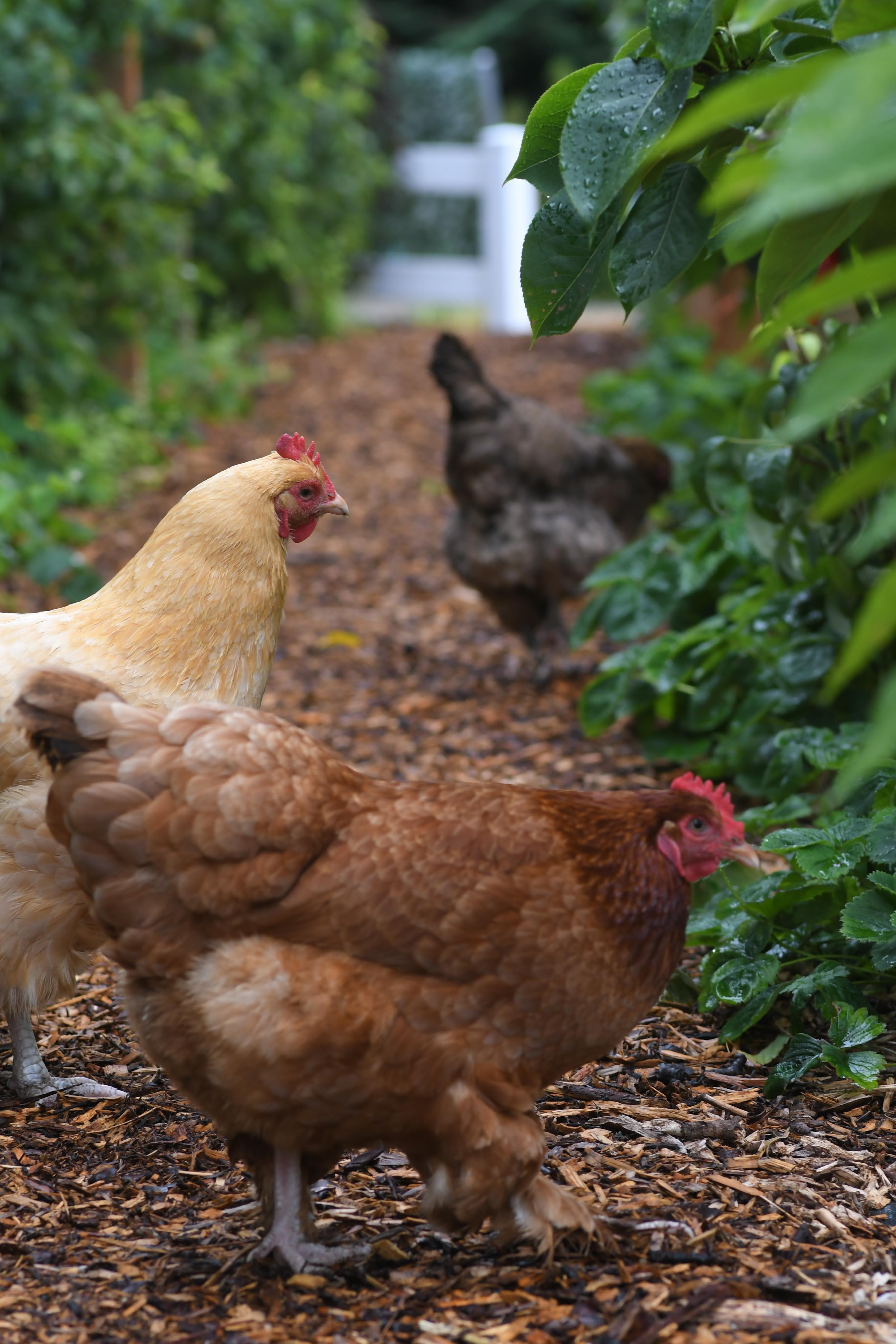 A dark brown, light brown and yellow chicken in a walkway surrounded by greenery.