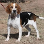 Beagle Female for Adoption in Arizona