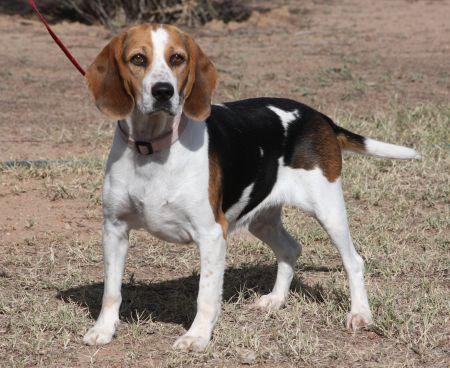 Beagle Female for Adoption