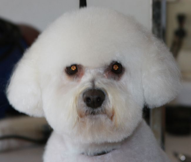 White Poodle after Grooming