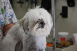 Lhasa Poodle before Grooming