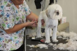 Lhasa Poodle groomed at low price