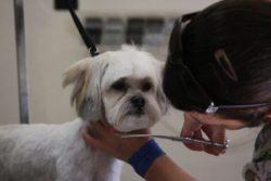 Poodle Lhasa trim and bath