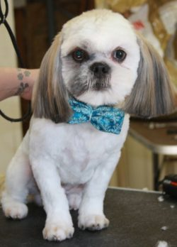 Lhasa Apso groomed in Tucson