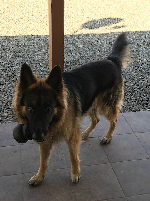 German Shepherd to good home