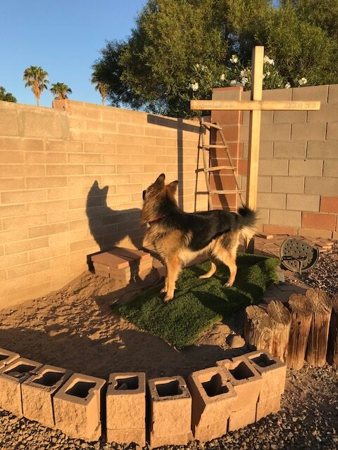 adopting German Shepherd male