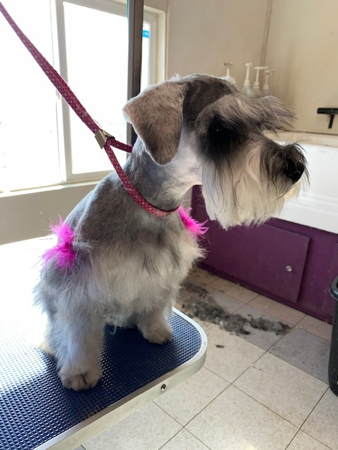 And AFTER grooming a Schnauzer...